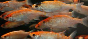 Havedamsfisk til havedammen