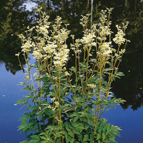 Plante til havedammen - Almindelig Mjødurt