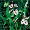 Plante til havedam - Almindelig Pilblad