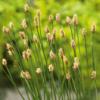 Plante til havedam - Almindelig sumpstrå