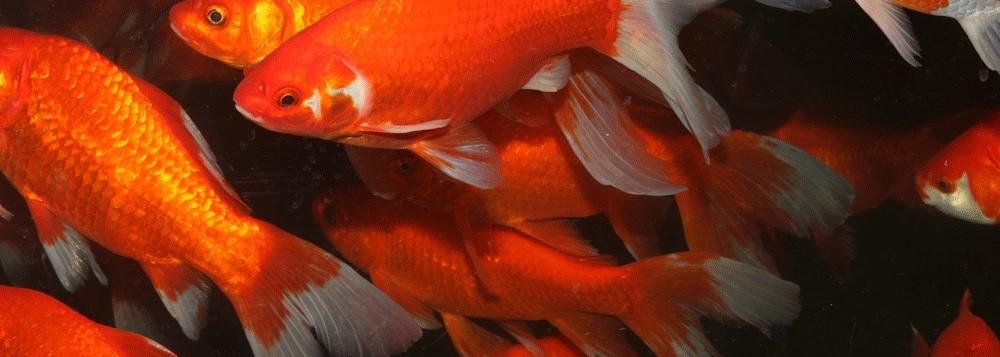 Fisk i havedammen guldfisk 1