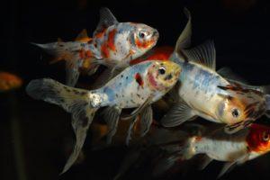 Fisk til havedammen guldfisk shubunkin 1