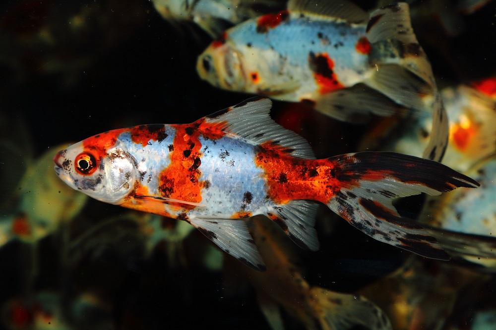 Fisk til havedammen guldfisk shubunkin 2