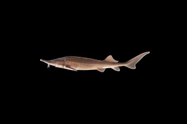 Fisk til havedammen stoer Sibirisk stoer sort baggrund 1
