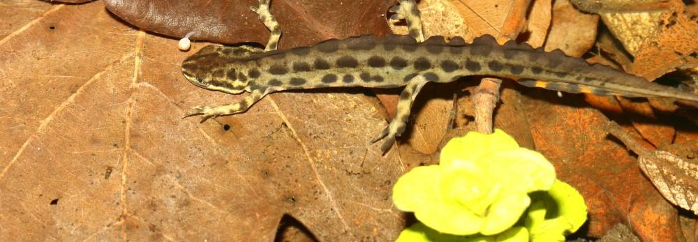 Padder i havedammen lille vandsalamander 3