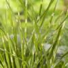 Planter til havedammen Brogetbladet Elefantgræs