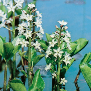 Planter til havedammen Bukkeblad
