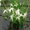 Planter til havedammen Dichromena colorata