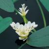 Planter til havedammen Duftende søaks