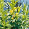 Planter til havedammen Dusk-fredløs