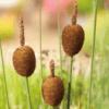 Planter til havedammen Dværgdunhammer