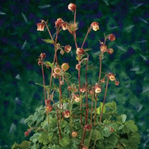 Planter til havedammen Eng-nellikerod