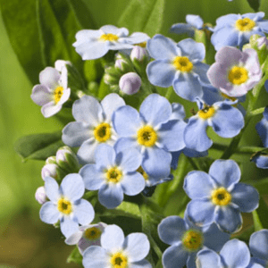 Planter til havedammen Engforglemmigej