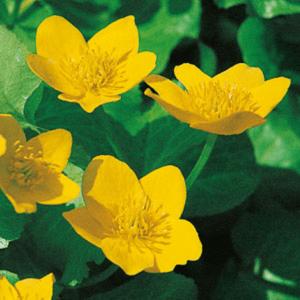 Planter til havedammen Engkabbeleje