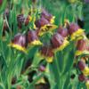 Planter til havedammen Fritillaria michailovskyi