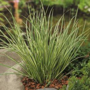 Planter til havedammen Græsbladet kalmus Hakuro Nishiki