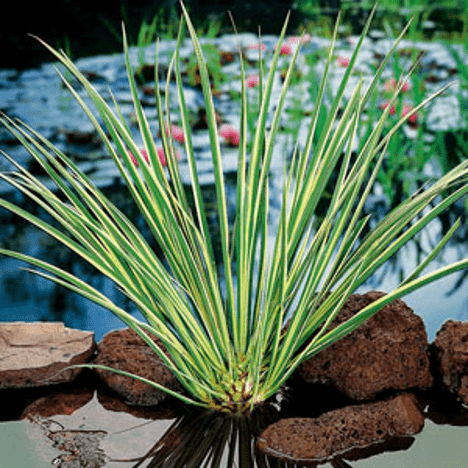 Planter til havedammen Græsbladet kalmus