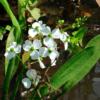 Planter til havedammen Græsbladet pilblad