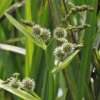 Planter til havedammen Grenet Pindsvineknop