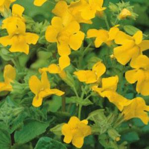 Planter til havedammen Gul Abeblomst