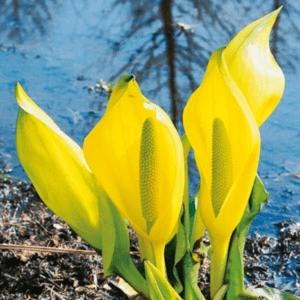Planter til havedammen Gul Kæmpekalla