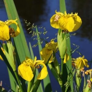 Planter til havedammen Gul iris