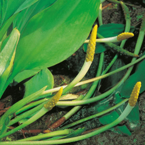 Planter til havedammen Guldkolbe