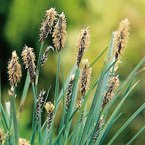 Planter til havedammen Hirsestar