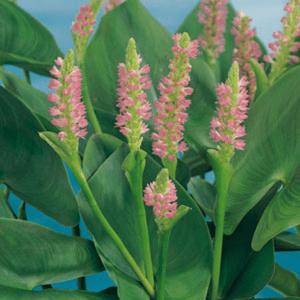 Planter til havedammen Hjertevandkærte Pink Pons