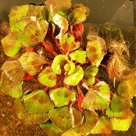 Planter til havedammen Hornnød