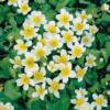 Planter til havedammen Hvid Kabbeleje