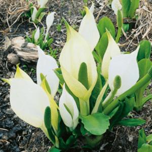 Planter til havedammen Hvid Kæmpekalla