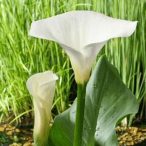 Planter til havedammen Hvid Kalla