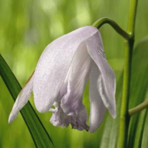 Planter til havedammen Hvid Mikadoblomst
