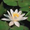 Planter til havedammen Hvid Nøkkerose