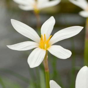 Planter til havedammen Hvidblomstret Zefyrblomst