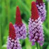 Planter til havedammen Hyacintprimula