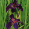 Planter til havedammen Iris louisiana hybrid Black Gamecock