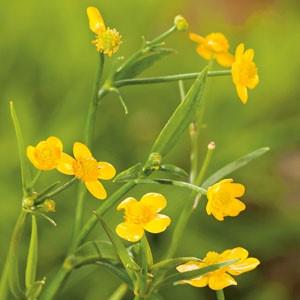 Planter til havedammen Kærranunkel