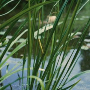 Planter til havedammen Kalmus