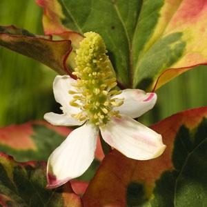 Planter til havedammen Kamæleonblad