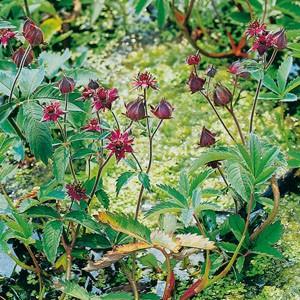 Planter til havedammen Kragefod
