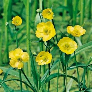 Planter til havedammen Langbladet ranunkel