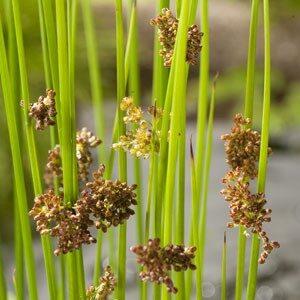 Planter til havedammen Lysesiv