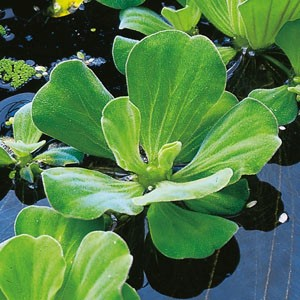 Planter til havedammen Muslingeblomst
