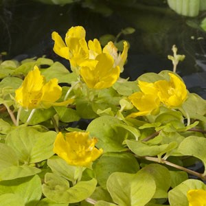 Planter til havedammen Pengebladet fredløs Aurea