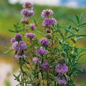 Planter til havedammen Preslia cervina Mentha cervina