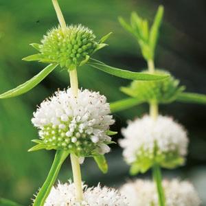 Planter til havedammen Preslia cervina albaMentha cervina alba