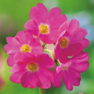 Planter til havedammen Rosenprimula