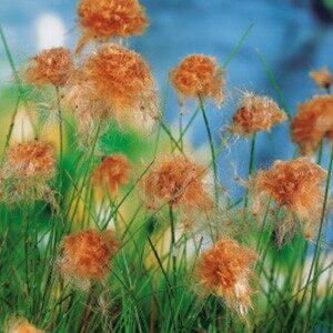 Planter til havedammen Rust kæruld